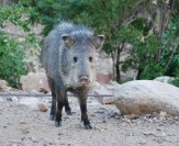 Javelinas are a frequent visitor to Eddie's yard.